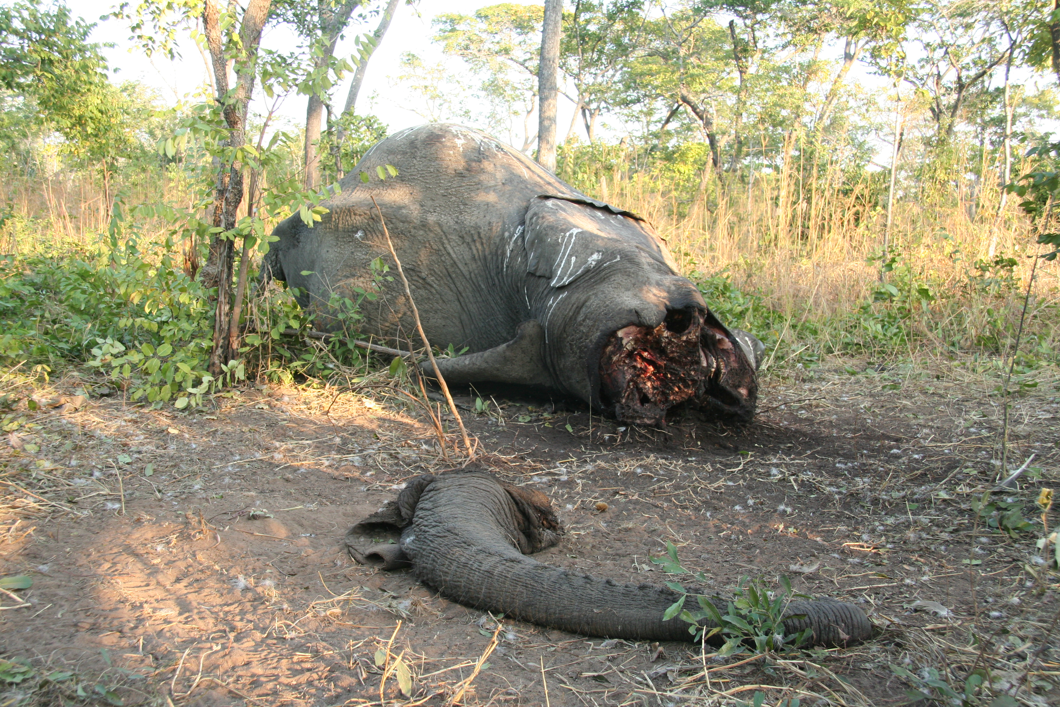 elephant poaching The recent capture of a notorious poacher has given hope to officials in chad battling to save the african elephant from extinction accessibility navigation primary the race to stop africa's elephant poachers the janjaweed financed their operations partly by poaching elephants in.